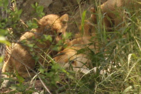 Tsalala Pride New Cub