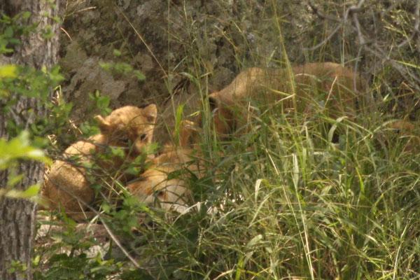 Tsalala Pride New Cubs