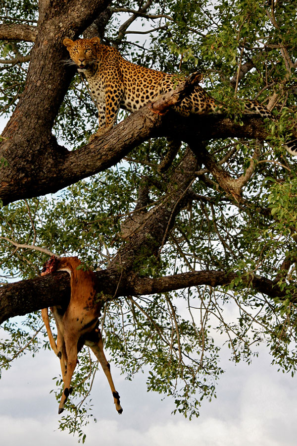 Vomba 3:3 Young Female with hoisted impala