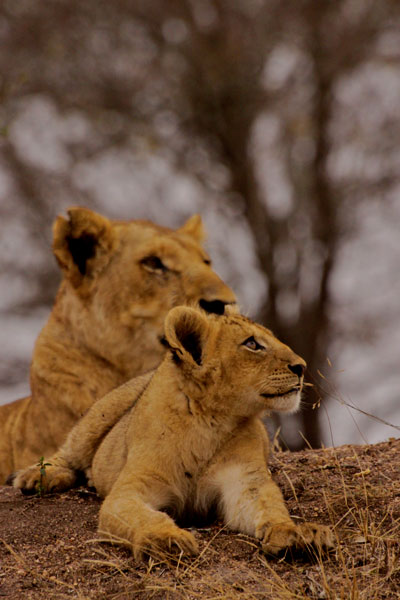 Sparta Breakaway Lioness and Cub
