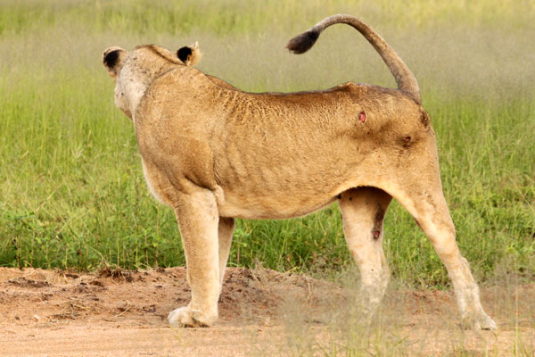 Wounded Female of the Breakaway Sparta Pride