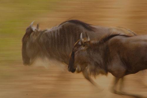 Wildebeest-Running-Motion-Blurred-2-Rich-Laburn