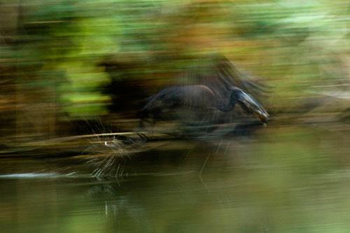Spoonbill-Taking-off-Motion-Blur-Rich-Laburn