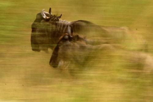 WIldebeest-Running-Motion-Blur-Rich-Laburn