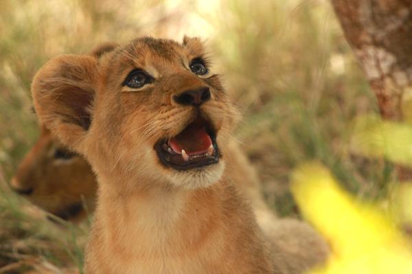 Tsalala Pride Cub