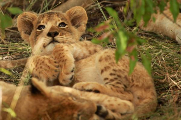 Tsalala Pride Cub with Limp