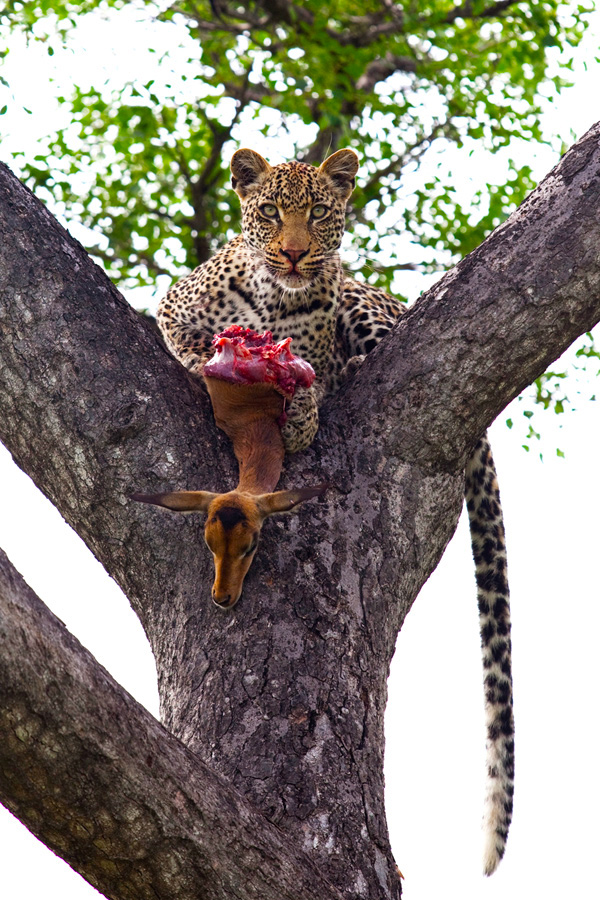 Photoshopped Photo - Vomba Young Leopard by Elsa Young