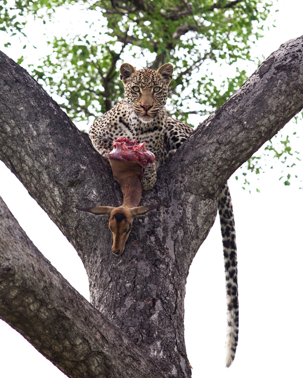 Original Photo -  Vomba Young Leopard by Elsa Young