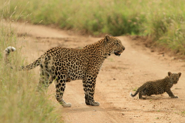Watcheche Female with her New Cub by Adam Bannister