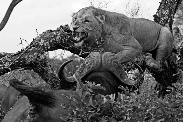 Young Male Lion Chased Up a Tree