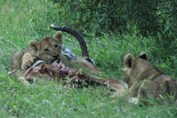 Tsalala Cubs Eating an  Impala