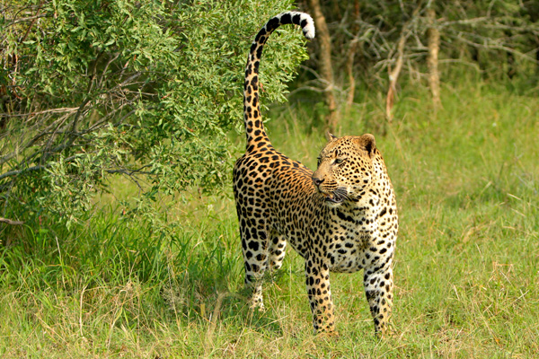 Dudley-Riverbank-5-5-Male-Leopard-Marking-Territory