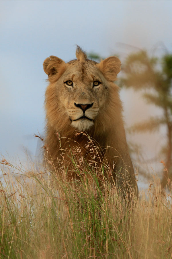 Southern Pride Male by Adam Bannister