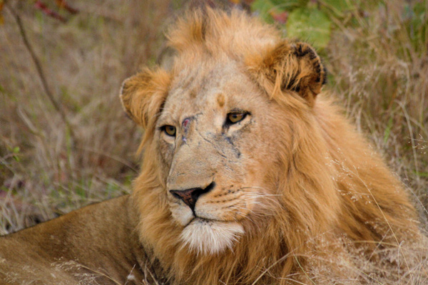 Majingilane Male Lion