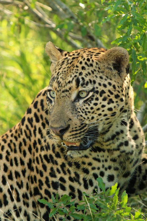 Dudley Riverbank 5:5 Male Leopard Portrait