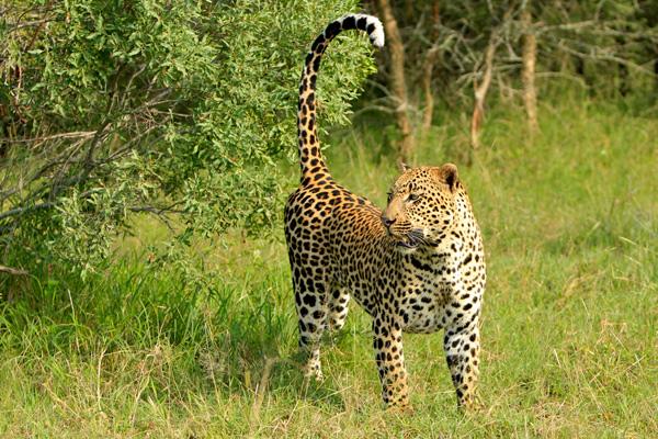 Dudley Riverbank 5:5 Male Leopard Marking Territory