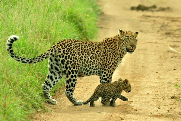 Wacheche Female and Cub Walking by John Holley