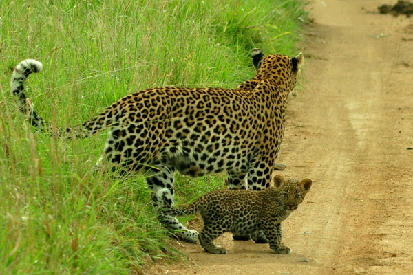 Wacheche Cub and Cub by John Holley