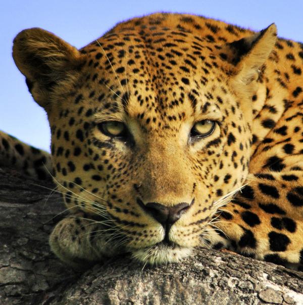 Camp Pan 4:3 Male Leopard