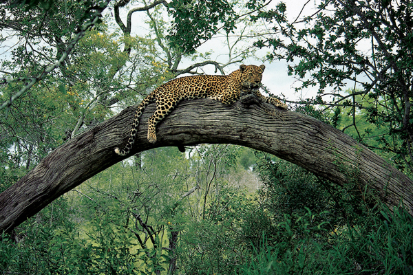 Male Leopard at Londolozi by Richard du Toit