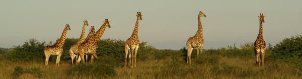 A Journey of Giraffe by Rich Laburn