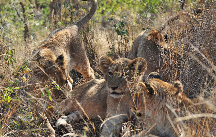 All four of the Tsalala Pride cubs together again by Talley Smith