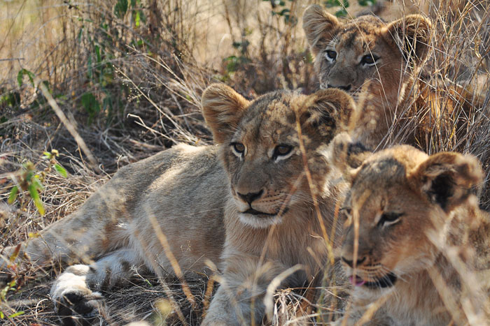 The Tsalala Pride Cubs by Talley Smith