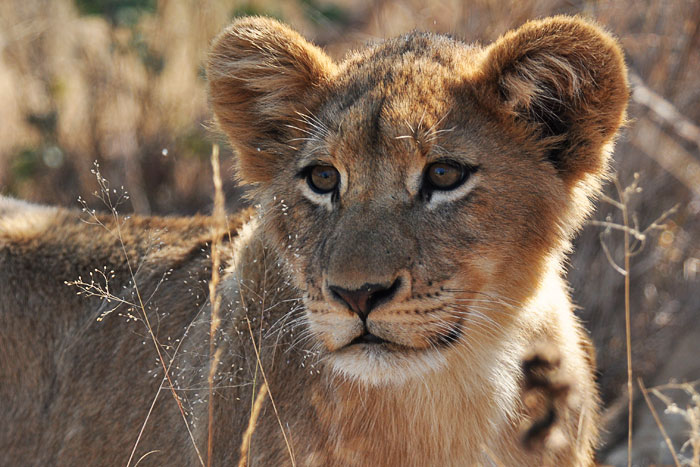 One of the missing Tsalala Pride cubs by Talley Smith