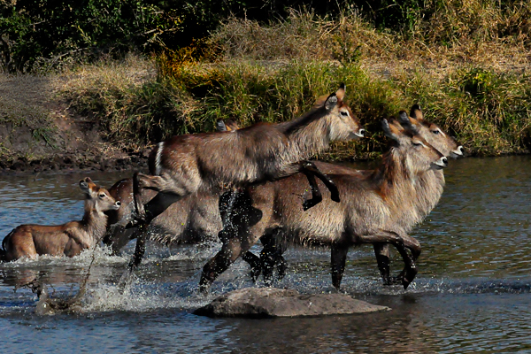 Waterbuck-Running-out-of-water