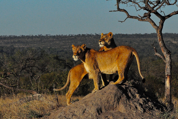 Tsalala-Lionesses-looking-for-missing-cubs