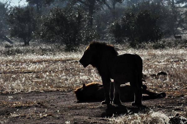 Majingilane-Male-Lion-Sillhouettes