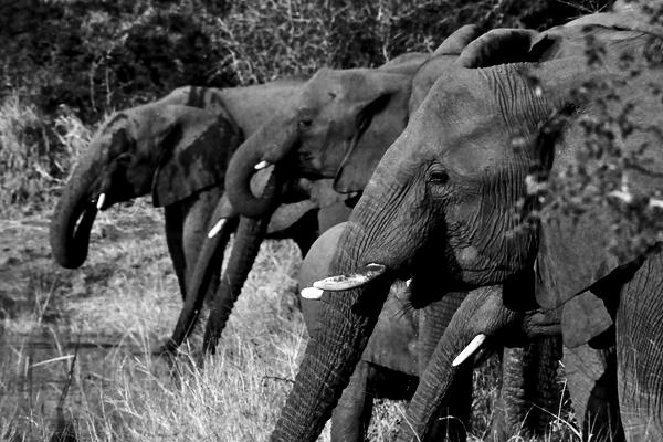 Elephant-Herd-Drink-in-River