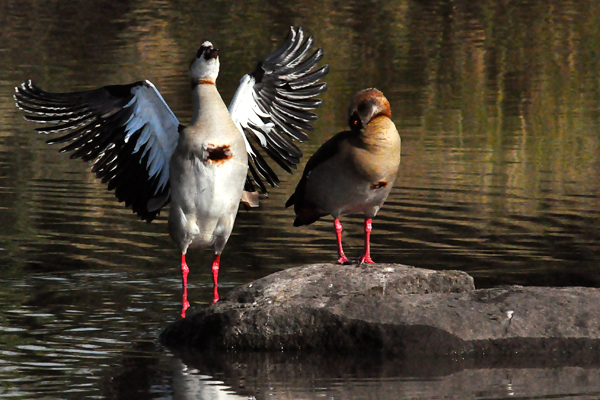 Egyptian-Goose-Ruffling-Feathers