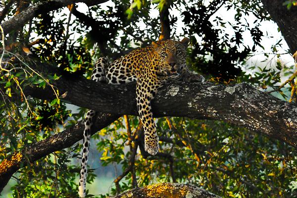 Dudley-55-Leopard-in-Tree