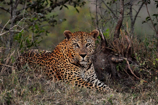 The Camp Pan Male watches a herd of impala, late afternoon at Londolozi. Still holding territory despite his conflict with the Dudley 5:5 Male, it is going to be important for this leopard to continue to hunt, kill and feed frequently.