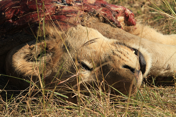 Deceased Southern Pride Young Male Lion by Adam Bannister