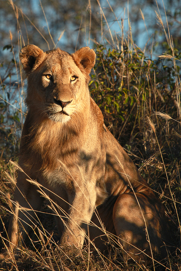 Southern Pride Young Male by Rich Laburn