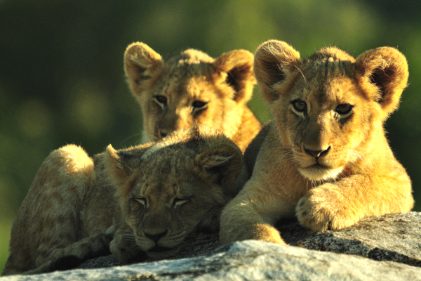 Tsalala Four Cubs Looking by John Holley