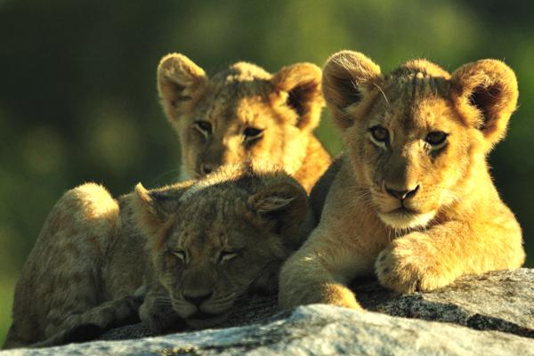 Tsalala Four Cubs Looking by John Holley