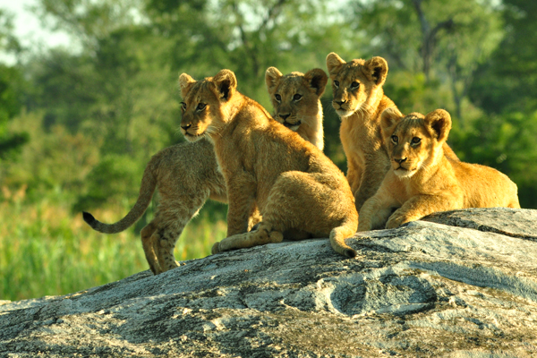 Tsalala Cubs on Granite Rock by John Holley
