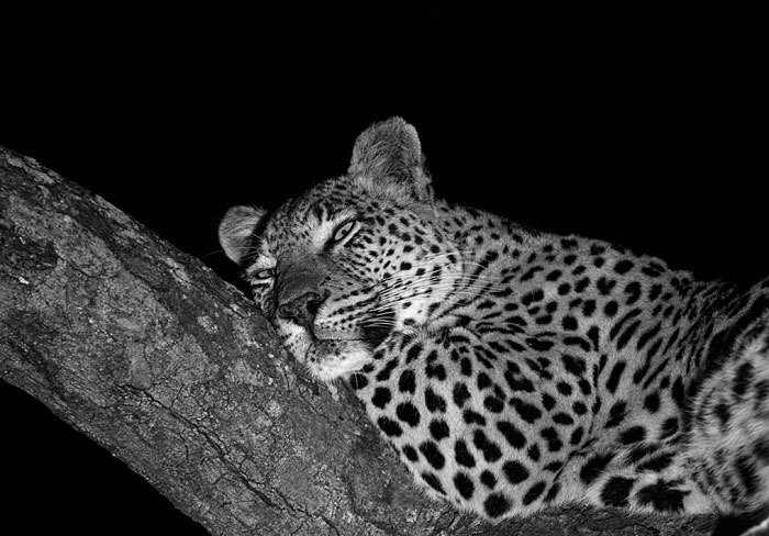 The maxabene female relaxes in Marula at night.  She spent most of this week mating with the Dudley Riverbank 5:5 male although she was forced to compete with the Tamboti Female (daughter of the Sunset Bend Female) for his attention.