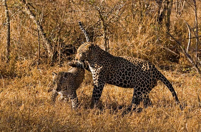 Dudley 5:5 and Maxabene prepare to mate. This was the start of their time mating together, before the Tamboti Female joined the fray.