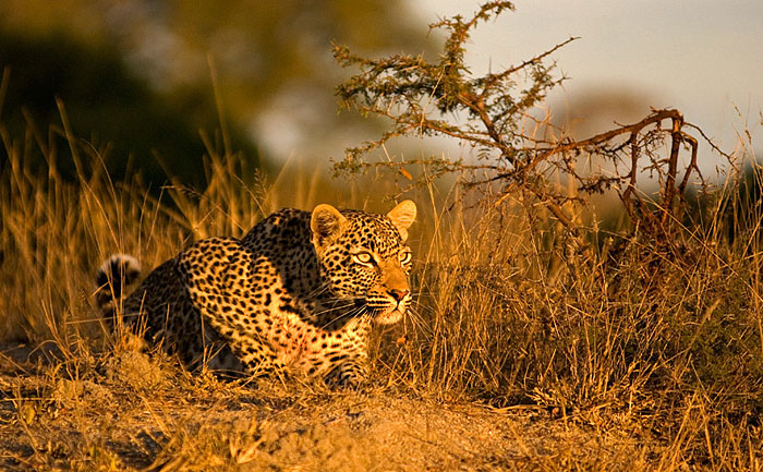 With some impala in the distance, the Nyaleti Young Female crouches down low on top of a termite mound in golden afternoon light.