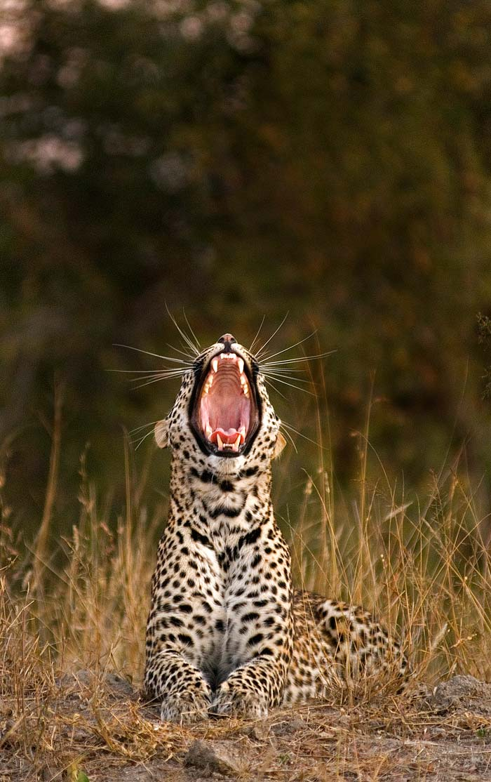 Usually a sign that a leopard is about to start moving, this big yawn from Nyaleti young female shows us her formidable set of teeth.