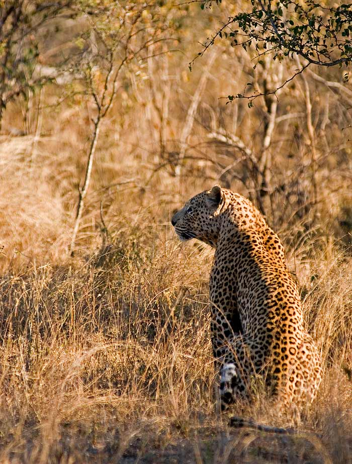 Camp Pan surveys a portion of his territory before attempting to hunt an Impala. While he does this, Dudley 5:5, in the heart of this territory, mates with two females that in past years would have rather sought out Camp Pan.