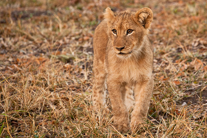One of the older Tsalala Pride Cubs by Rob Jansen