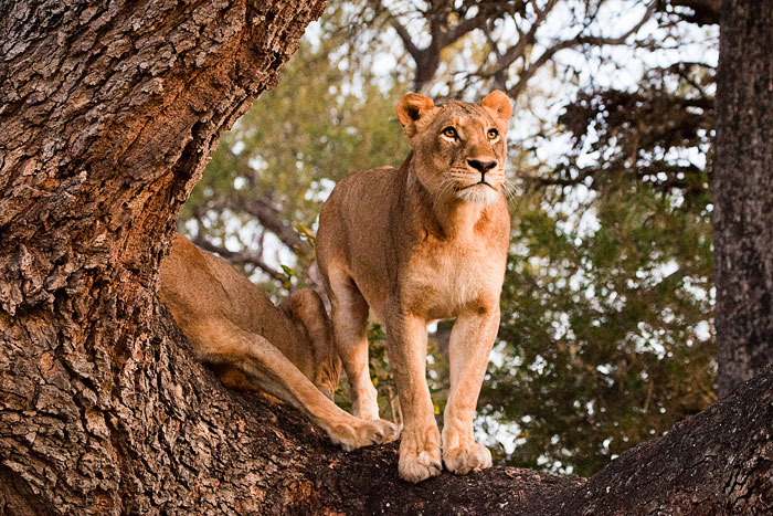 Tsalala Lioness Looking out from Hunter's Tree by Rob Jansen