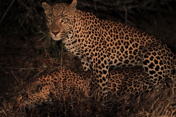 Dudley 5:5 Male mating with the Maxabeni Female by Adam Bannister