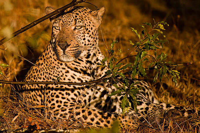 The Emasgwen 6:4 Male Leopard by Rich Laburn