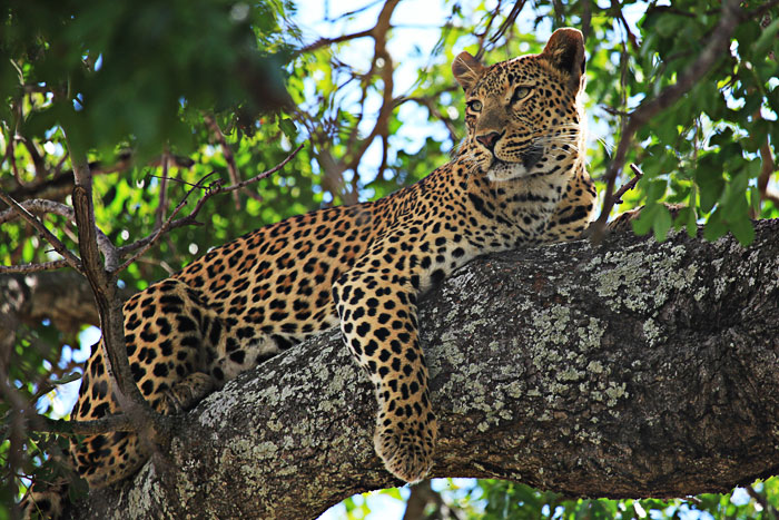 Tutlwa Female Leopard Lying in Tree by Rich Laburn